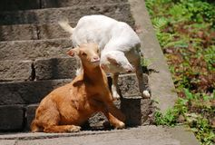 Goats playing together. On the footstep. wild animals such as macaque monkeys, goats Stock Photography