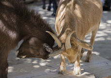 Goats Playing Royalty Free Stock Photography
