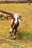 Goats portrait in a zoo. Royalty Free Stock Photography