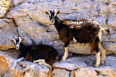 Wild goats posing for the camera royalty free stock photo