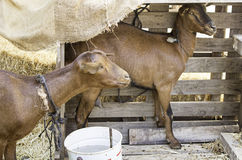 Goats in poultry Stock Images