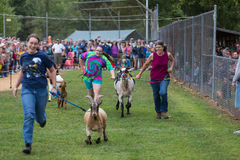 Goats Race in Community Park Stock Images