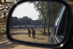 Goats in the rear view mirror. Goats in the summer time following a car as seen through the rear view mirror Royalty Free Stock Image