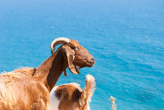 Goats resting on a rock by the coast in Cyprus. Petra Tou Romiou Stock Image