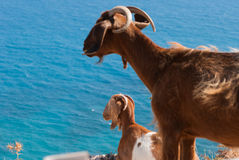 Goats resting on a rock by the coast in Cyprus. Petra Tou Romiou Royalty Free Stock Images