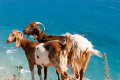 Goats resting on a rock by the coast in Cyprus. Petra Tou Romiou Stock Photos