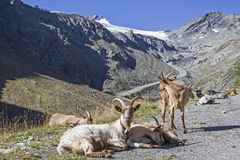 Goats in the Rettenbach valley in Tyrol stock photo