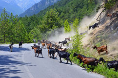 Goats on road. Goats group on mountain road stock photos