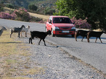 Goats on the road Stock Images