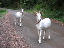 Goats on a road. Two curious and friendly white goats on a road near Apollo Bay, Victoria Royalty Free Stock Photo
