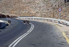 Goats on the road - RAW format Royalty Free Stock Images