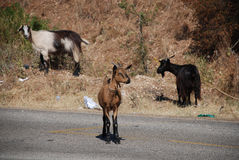 Goats by Roadside Royalty Free Stock Images