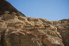 Goats on the Rock at Moon Land Lamayuru Ladakh ,India Stock Photo