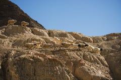 Goats on the Rock at Moon Land Lamayuru Ladakh ,India Stock Photo