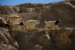 Goats on the Rock at Moon Land Lamayuru Ladakh ,India Royalty Free Stock Image