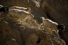 Goats on the Rock at Moon Land Lamayuru Ladakh ,India Royalty Free Stock Photo
