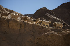 Goats on the Rock at Moon Land Lamayuru Ladakh ,India Stock Photos