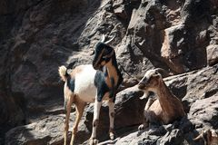Goats. In a rock wall royalty free stock photography