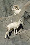 Goats on rocks. Adult goat and a baby on rocks in sunshine Stock Photo