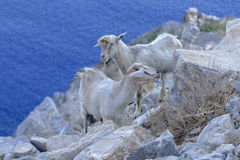 Goats on rocky coastline Royalty Free Stock Photos