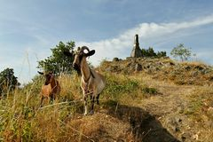 Goats on a rocky hill Royalty Free Stock Images