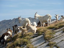 Goats on a rocky peak Stock Image