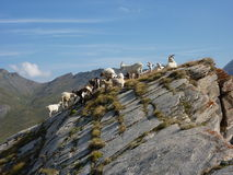 Goats on a rocky peak Stock Photography