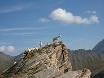Goats on a rocky peak Stock Photos