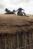 Goats on roof in village near Tsavo National Park, Kenya, Africa Stock Photo