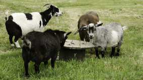Goats of the round table Stock Photography