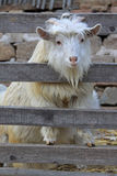Goats in rural areas Stock Image