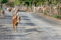 Goats in a rural road in nicaragua Royalty Free Stock Images