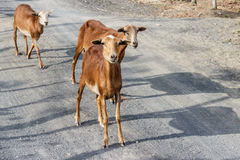 Goats in a rural road in nicaragua Stock Photography