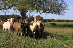 Goats rushing back to their farm at milking time Royalty Free Stock Photos