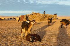 Goats in Sahara desert royalty free stock photo