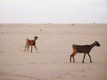 Goats in Sahara desert Stock Images