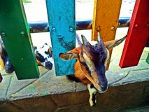 Goats at Saigon Zoo. Goat peeking through the fence in the Saigon Zoo in Saigon, Vietnam Royalty Free Stock Photos