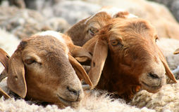 Goats For Sale. Row of goats for sale on traditional Kashgar market royalty free stock photo