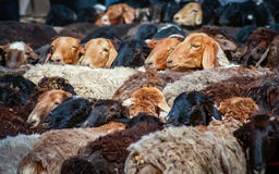Goats For Sale. On Kashgar sunday livestock market Royalty Free Stock Images