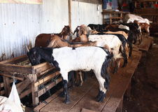 Goats for sale Royalty Free Stock Photo
