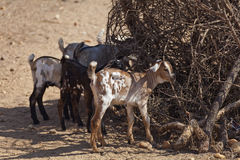Goats in the Samburu village Royalty Free Stock Photography
