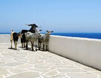 Goats on seaside patio Stock Images