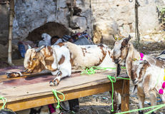 Goats for selling at a bazaar Stock Photos