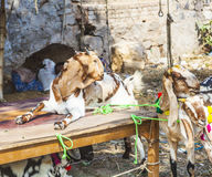 Goats for selling at a bazaar Royalty Free Stock Images