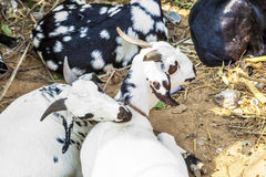 goats for selling at a bazaar Royalty Free Stock Image