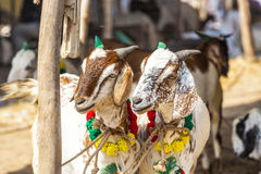 Goats for selling at the bazaar Stock Image