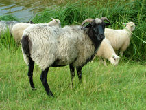 Goats and Sheep Stock Photography