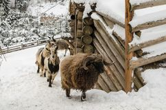 Goats and sheep on the barnyard. Near feeders in the village, farm, Ukraine royalty free stock photo