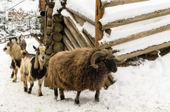 Goats and sheep on the barnyard. Near feeders in the village, farm, Ukraine royalty free stock image