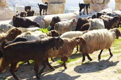 Goats & sheep. Cattle of goats and sheep herding in Jordan Stock Images